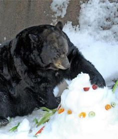 At the Los Angeles Zoo and Botanical Gardens, a bear lends a helping paw in preparing for Snow Days on February 9 and 10.