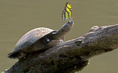 A butterfly perches on the head of an Amazon River Turtle. Photographer Nate Chappell spotted the cheeky insect hitching a ride near the Amazon River in Ecuador.