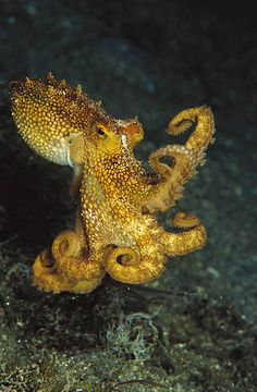 Beautiful octopus pictures: masters of camouflage and nimble .- Beautiful octopus pictures: masters of camouflage and nimble hunters National Geographic Underwater Creatures, Underwater Life, Beautiful Sea Creatures, Animals Beautiful, Kraken, Octopus Pictures, Vida Animal, Octopus Art, Yellow Octopus