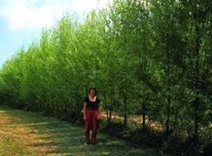 Windbreak Privacy Fence of Hybrid Willow Trees