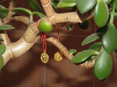 Можно украсить ветви и стебелевую часть толстянки красными или золотистыми ленточками, желтыми монетками, что позволит увеличить магические свойства декоративной культуры