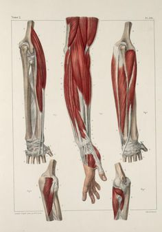 Muscle Anatomy: Arm and Hand Muscles 4 Arm Anatomy, Anatomy Poses, Muscle Anatomy, Body Anatomy, Anatomy Art, Male Figure Drawing, Life Drawing, Anatomy Reference, Art Reference