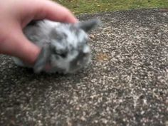 THIS IS THE CUTEST BABY BUNNY I'VE SEEN IN MY LIFE! And there are more videos as it grows up too!