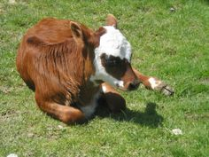 This baby cow lost its leg and is now best friends with a tortoise, so it's fine