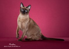 Tonkinese Best of Color