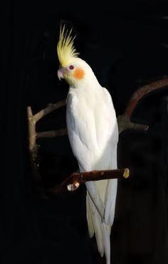 Super Metal Cockatoo Just Wants to Headbang, Man Funny Birds, Cute Birds, Pretty Birds, Beautiful Birds, Animals Beautiful, Cockatiel Care, Animals And Pets, Cute Animals, Budgies