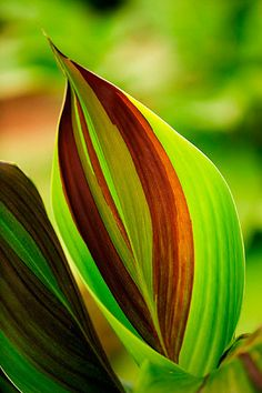 Oakland nurseries, leicestershire: Amazing leaf of canna 'cleopatra' by Clive Nichols Tropical Garden, Tropical Plants, All Flowers, Beautiful Flowers, Photographie Macro Nature, Plantar, Green Plants, Shades Of Green, Trees To Plant