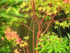 (Acer palmatum 'Sango kaku') x Coral Bark Maple, Bloodgood Japanese Maple, Japanese Beetles, Fast Growing Trees, Meditation Garden, Acer Palmatum, Tree Care, Maple Tree, Small Trees