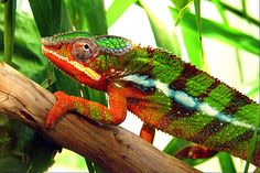 Animals that can change color all have one thing in common: they are ectotherms (animals that cannot generate their own body heat in the same way as mammals and birds.) Only ectotherms have the specialised cells that enable color change. and reptiles Geckos, Reptiles And Amphibians, Mammals, Karma Chameleon, Body Heat, Animals Of The World, My Animal, Super Powers, Baby Animals