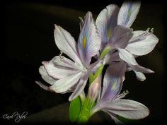 Water Hyacinth - http://dkenvironmental.com/blog/water-hyacinth-6/