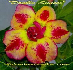 ADENIUM-OBESUM-DESERT-ROSE-DOUBLE-SUNSET-20-seeds-NEW-HYBRID-Recommended