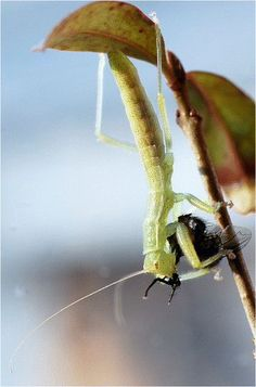 Biodiversity, ecology, and behavior of the recently discovered insect order Mantophasmatodea