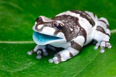 Amazing baby Amazon Milk Frog