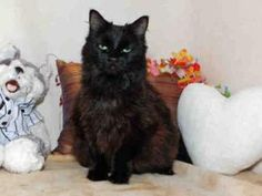 *SHADOW is an adoptable Domestic Medium Hair Cat in Salt Lake City, UT. Hi, my name is *SHADOW & I'm a real PARTY ANIMAL! I'm pudgy & I have a lot to say! Yup, Shadow is an armful & she has a bit ...