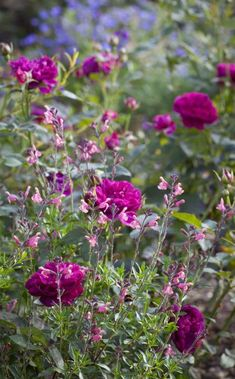 How underplanting with salvias can keep roses healthy / 'Darcey Bussell' rose with 'Tutti Frutti' salvia / CREDIT: ©JONATHAN BUCKLEY