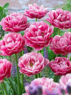 Double early tulip - Deep rose ruffled blossoms; 10 bulbs.