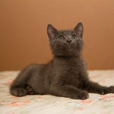 Smokey: Domestic Short Hair-Gray, Cat; Neenah, WI