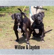 Willow (and Jayden) - Pit Bull Terrier