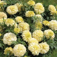 NEXT YEAR I WANT White Marigolds!