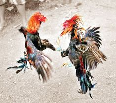 The Supreme Court Monday directed status quo to be maintained on the traditional cock fight games during the festival in Andhra Pradesh. Fighting Tattoo, Rooster Tattoo, Game Fowl, Galaxy Pictures, Art Village, Chicken Art, Game Birds, Chicken Breeds, Pottery Painting