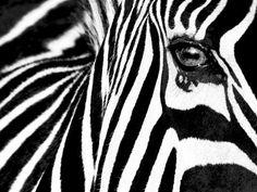 Affiche & posters.com vous présente le poster pas cher intitulé : Poster noir et blanc de Rocco Sette Black & White II (Zebra). Affiche à saisir : stock limité. Paiement sécurisé. Livraison rapide.
