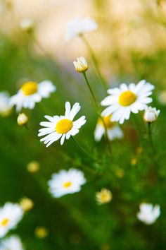 Everything you need to know about Chamomile.