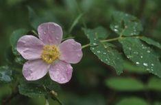 Wild Rose Flower Information