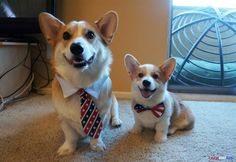 Pictures of Corgnelius & Stumphrey, two pembroke welsh corgi brothers who reside in Los Angeles, CA. Corgnelius (aka Corgi) was born on May 2012 & Stumphrey (aka Stump Stump) was born on March Funny Corgi Pictures, Corgi Funny, Cute Corgi, Cute Puppies, Dogs And Puppies, Funny Dogs, Animals And Pets, Funny Animals, Cute Animals
