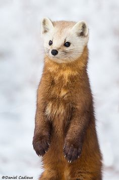 Curiously Cute Pine Marten ~ The American marten is a long, slender-bodied weasel with relatively large rounded ears, sh Wildlife Photography, Animal Photography, Beautiful Creatures, Animals Beautiful, Cute Baby Animals, Funny Animals, Wild Animals, American Marten, Puppies