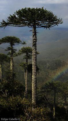 trees.quenalbertini: Araucaria tree from South America