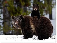 mother-baby-bear
