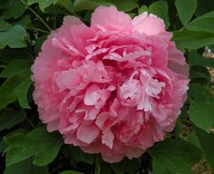 'Necklace with Precious Pearls' Chinese tree Peony (Cricket Hill Garden)