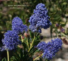 Ceanothus (California lilac)...This might be my favorite version.