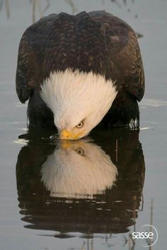 Even drinking water its majestic Adler, Big Bird, Bird Feathers, Wings Like Eagles, Birds Of Prey, All Birds, Eagle Wings, Beautiful Birds, Animals Beautiful