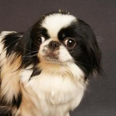 Adopt Chloe, a lovely 8 years 6 months Dog available for adoption at Petango.com. Chloe is a Japanese Chin and is available at the National Mill Dog Rescue in Colorado Springs, www.milldogrescue.org