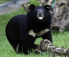 Asian Black Bear | Asian Black Bear - Pictures, Diet, Breeding, Life Cycle, Facts ...