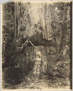 Felling a Cedar Tree, 30 Miles East of Seattle, 76 Feet in Circumference  	  Darius Reynold Kinsey  American, 1906  Gelatin silver print  13 5/8 x 10 5/8 in.