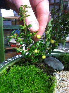 Little Majestic Dwarf Japanese Holly Miniature Gardening at the Northwest Flower and Garden Show. Fairy Garden Plants, Mini Fairy Garden, Garden Terrarium, Fairy Garden Houses, Garden Show, Dream Garden, Fairy Gardening, Terrariums, Water Garden