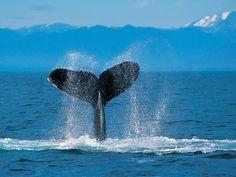 Tapety na pulpit - Wieloryby: http://wallpapic.pl/zwierzeta/wieloryby/wallpaper-30703