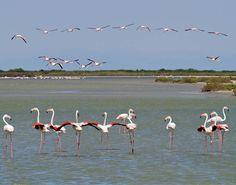 Flamingos no Camargue Flora da Serra da Boa Viagem (Figueira da Foz): Flowers of South-West Europe revisited (I.2.1e - A Península Ibérica)