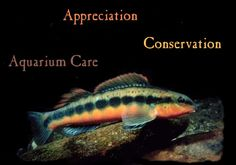 www.nanfa.org NATIVE NORTH AMERICAN FISH ASSOCIATION :: :: Sponsors (where you can buy) www.nanfa.org/... Example: Sunfish/Blue-Gill, Black Crappie & more: www.AquaCultureSt.... Some Offers/Sellers are for Pond Stocking, others are for Ornamental Enjoyment (aquarium acclimated:) -since many of our North American Native Fish are just as Striking as tropical fish at a regular pet store:) ~JJL