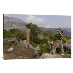 East Urban Home 'Ring-Tailed Lemur Portrait on Rocks Overlooking the Andringitra Mountains, Vulnerable, South Central Madagascar' Photographic Prin...