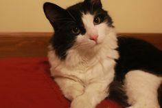 Lost Cat - Tuxedo - Toronto, ON, Canada M6P 3Y7