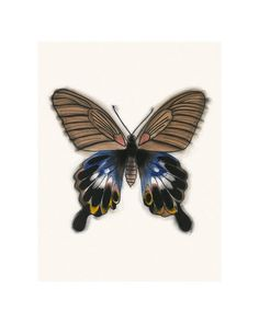 """Butterfly art drawing : The Great Morman butterfly Papilio Memnon  8.3"""" X 11.7"""" print"""