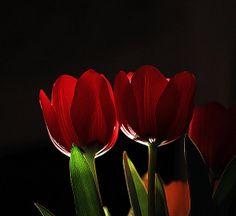 Chiaroscuro of tulips