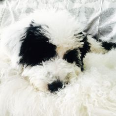 Ready to snuggle our Portuguese Water Dog, Pirate