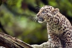 """""""Argoun"""", a 3-month-old Amur leopard ventures outside during its first time out on July 11, at the zoo in Mulhouse, eastern France."""
