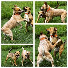 Our 2 peas in a pod, Chico & Regina! #evasplaypupsPA #dogs #dogcamp #letsgetreadytorumble #playtime #sillypooches #bffs #itsadogslife #dogdaysofsummer #brooklyndogs #handsomeman #prettygirl #happytails #dogsocialization #cattledogsofinstagram #pitbullsofinstagram #dogsofinstagram #instapups #doggyvacays #doggievacays #dogboarding #endlessmountains #mountpleasant #northeasternpa #PA #pennsylvania