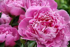 Pink peonies - sarah bernhart