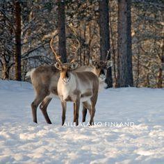Reindeers, Porot  Lappi Lapland, Finland   Photo Aili Alaiso Finland